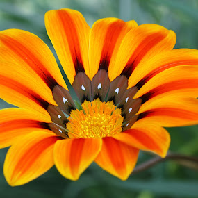 Vibrant colors by Lolotan Dalimunthe - Flowers Single Flower ( orange, gardens by the bay, flower dome, singapore, lolotan )