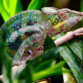 Caché dans les feuilles by Gérard CHATENET - Animals Reptiles