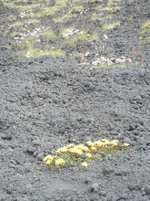 Photo: Plant life starting to take hold in one of the lava fields.