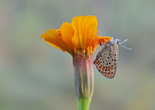 Photo: Lycaena tityrus, Cuivré fuligineux / Argus myope, Sooty Copper  http://lepidoptera-butterflies.blogspot.fr