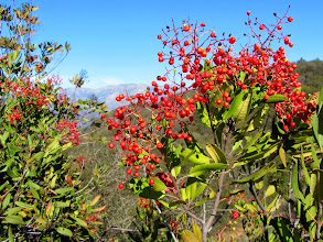 Photo: The red berries of toyon (Heteromeles arbutifolia), (aka Christmas berry) adds a splash of color to the winter vegetation
