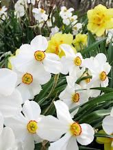 Photo: Fancy white and yellow daffodils at Wegerzyn Gardens in Dayton, Ohio.