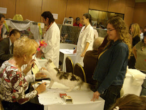Photo: CASIOPEA MONTEGANCEDO*ES - Exposicion Felina EXPO-GATO Noviembre 2008 Club Felino de Madrid - Nominada a Best in Show 8 Noviembre 2008