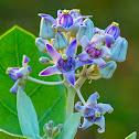 Crown Flower, Giant Indian Milkweed, Ivory Plant