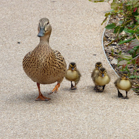 mother and baby by Nick Parker - Animals Other ( ducklings, ducks, chicks,  )