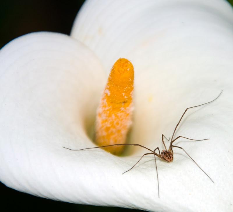 aracne  fobia di Primula Vico