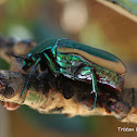 Green fruit beetle, or Fig beetle