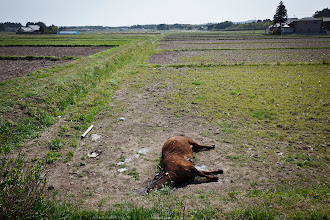 Photo: May 8, 2011. Fukushima, Japan. I bid farewall to Kobayashi and head south, eventually crossing the entire 40km diameter exclusion zone by bicycle. Along the way I came across many abandoned cows - this one appears to have died of dehydration.