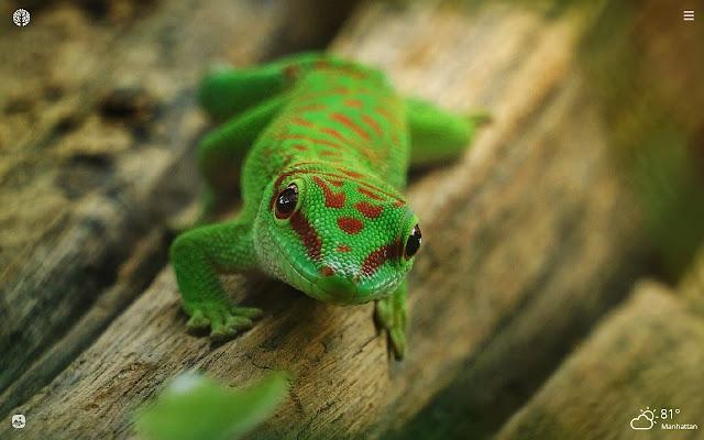 Gecko Lizard HD Wallpapers New Tab Theme