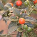 Madeira Winter Cherry
