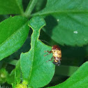 Case bearing leaf beetle