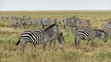 Photo: More giraffes in E AFR SAF GIRAFFES album