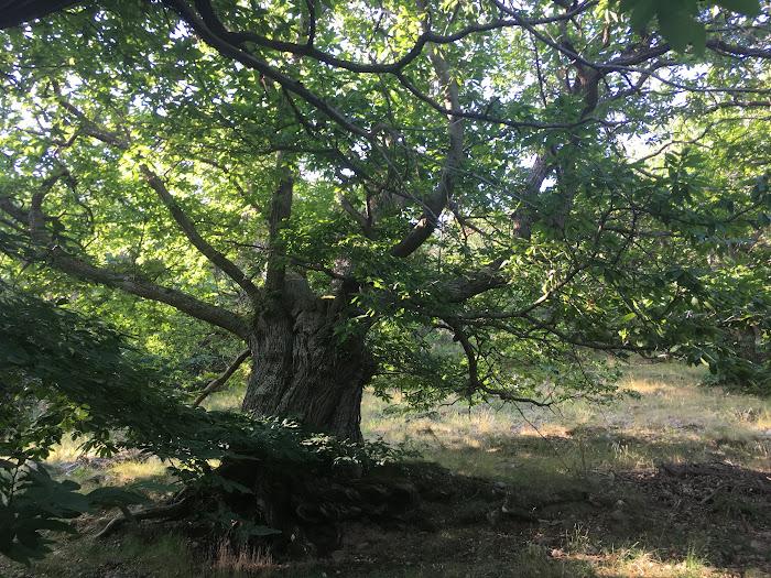 The centuries-old chestnut tree of the Poggio all'Olmo nature reserve, Castigliocello Bandini, Tuscany