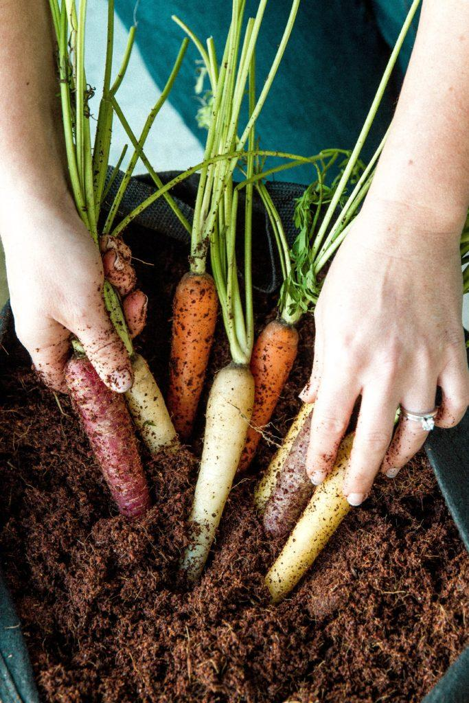 Carrots In A Container Garden