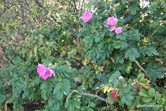 Photo: amazing fragrances from wild roses