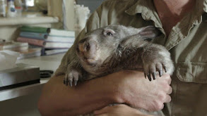 Three Camels and a Wombat thumbnail