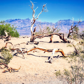 Dead and not so dead trees in Death Valley  by Nelida Dot - Nature Up Close Other Natural Objects ( sand, mountain, nature, bush, death valley, tree, dry, desert,  )
