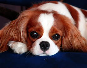 "Photo: Cavalier King Charles Spaniel ""Cash"" (1 y.o.)"