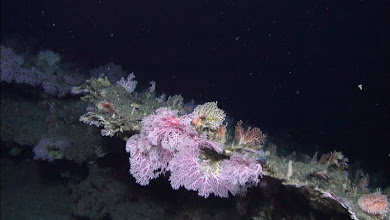 Photo: Pink stylaster corals line an outcrop. Image courtesy of Deepwater Canyons 2012 Expedition, NOAA-OER/BOEM.