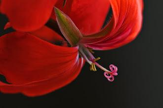 Photo: Indoor red ivy geranium (Pelargonium)  3/21/09