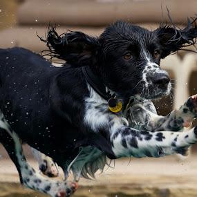 Jumping Spaniel by John Crongeyer - Animals - Dogs Running ( animals, dogs, jumping, rabbits, spaniel, canis lupus familiaris, pwcmovinganimals-dq, pwc76, #garyfongpets, pwc84, running, cows, livestock, cats, #showusyourpets, pet, pets, action, animals in motion, motion, dog, english springer spaniel, animal,  )