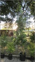 Photo: Arborele de guma (Liquidambar styraciflua Rotundiloba) - din parcul Tineretului - 2017.08.11