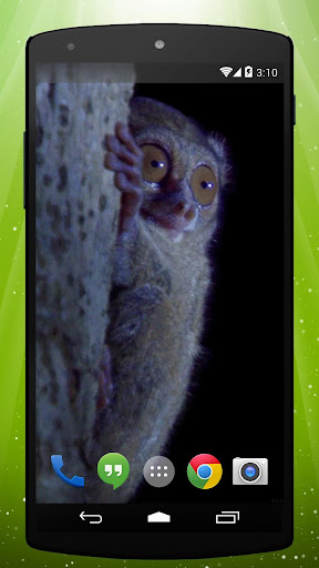 Bush Baby Live Wallpaper