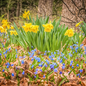 Spring Flowers in the Forest by Lynn Kirchhoff - Flowers Flower Gardens ( arril, purple, forest, s[ring, daffodils, bulbs, yellow, flowers, blossoms,  )