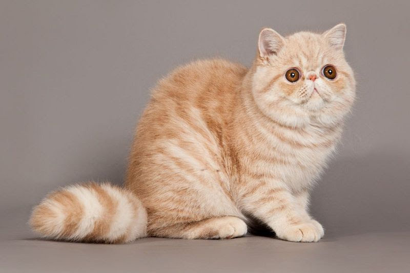 Exotic Shorthair price range. Exotic Shorthair kittens for sale cost?