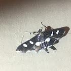 Grape Leaffolder Moth