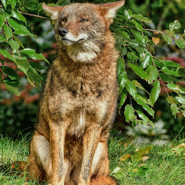 Coyote by Bruce Newman - Animals Other Mammals ( nature, coyote, summer colors, colorado, landscape, wildlife,  )
