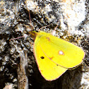 Clouded Yellow; Amarilla