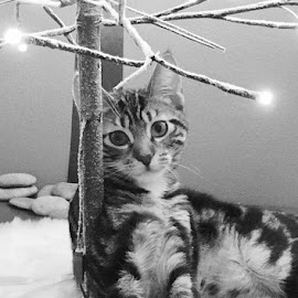 Kitty Christmas by Lori Fix - Black & White Animals