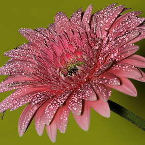 Gerbera by Nikola Vlahov - Nature Up Close Flowers - 2011-2013 ( up close, nature, showy, colorful, background, wallpaper, gerbera, flower, droplets )