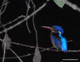 Photo: Night shot of Blue-eared Kingfisher, Sepilok
