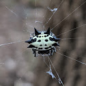 Spinybacked Orbweaver