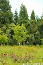 Photo: 拍攝地點: 梅峰-一平臺 拍攝植物: 大理花(前) 水仙百合(中) 貓兒菊(後) 拍攝日期: 2014_07_04_FY