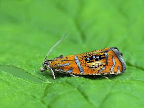 Photo: Olethreutes arcuella  http://lepidoptera-butterflies.blogspot.com/