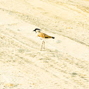 The river lapwing