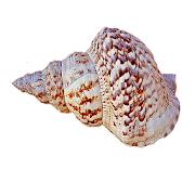 Conch Sound