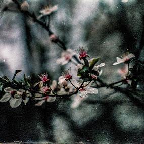 Tree Blossom on film by Scott Morgan - Flowers Tree Blossoms ( white flower, tree, white, branch, bloom, flowers, flower, blossoms, blossom,  )