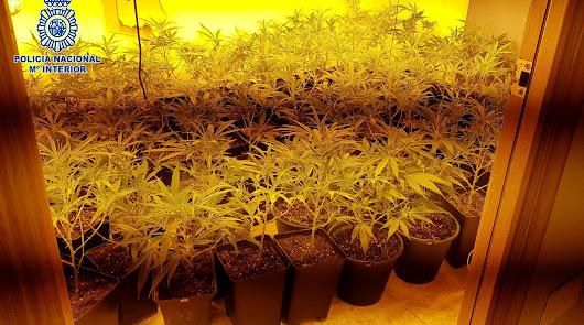 Plantación descubierta en la capital.