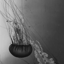 Jellyfish by Brian Hood - Animals Fish