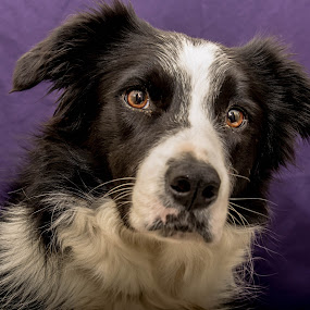 Border Collie Stormy by Thyra Schoonderwoerd - Animals - Dogs Portraits ( colourfull, indoor, camera, lovely, bordercollie, dog, eyes,  )