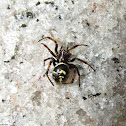 Steatoda sp.