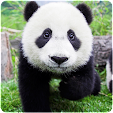 Panda Wallp.. file APK for Gaming PC/PS3/PS4 Smart TV