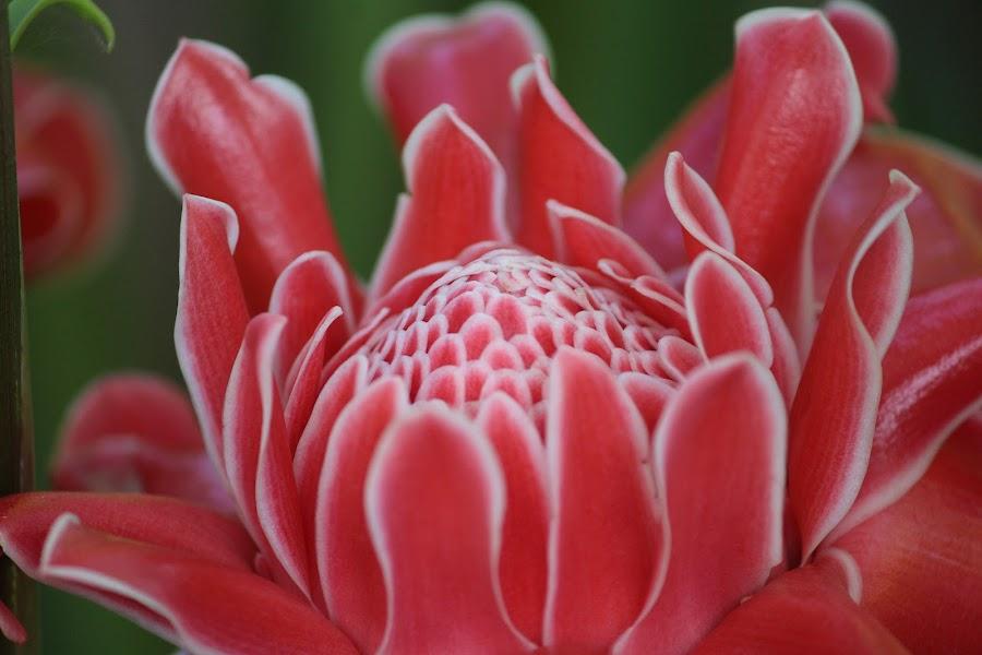 Ginger Lilly  by Suresh Kumar - Flowers Single Flower