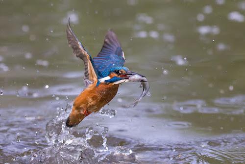 The kingfisher by Alberto Carati - Animals Birds