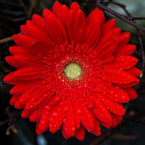 Red Daisy by Merina Tjen - Lim - Uncategorized All Uncategorized ( daisy; red; water; single; drops )