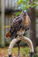 Photo: Red Tailed Hawk; Audubon Center for Birds of Prey